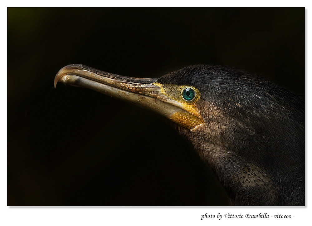 """cormorano """"dall'occhio di giada"""""""