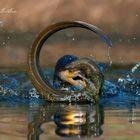 Cormorano ingordo