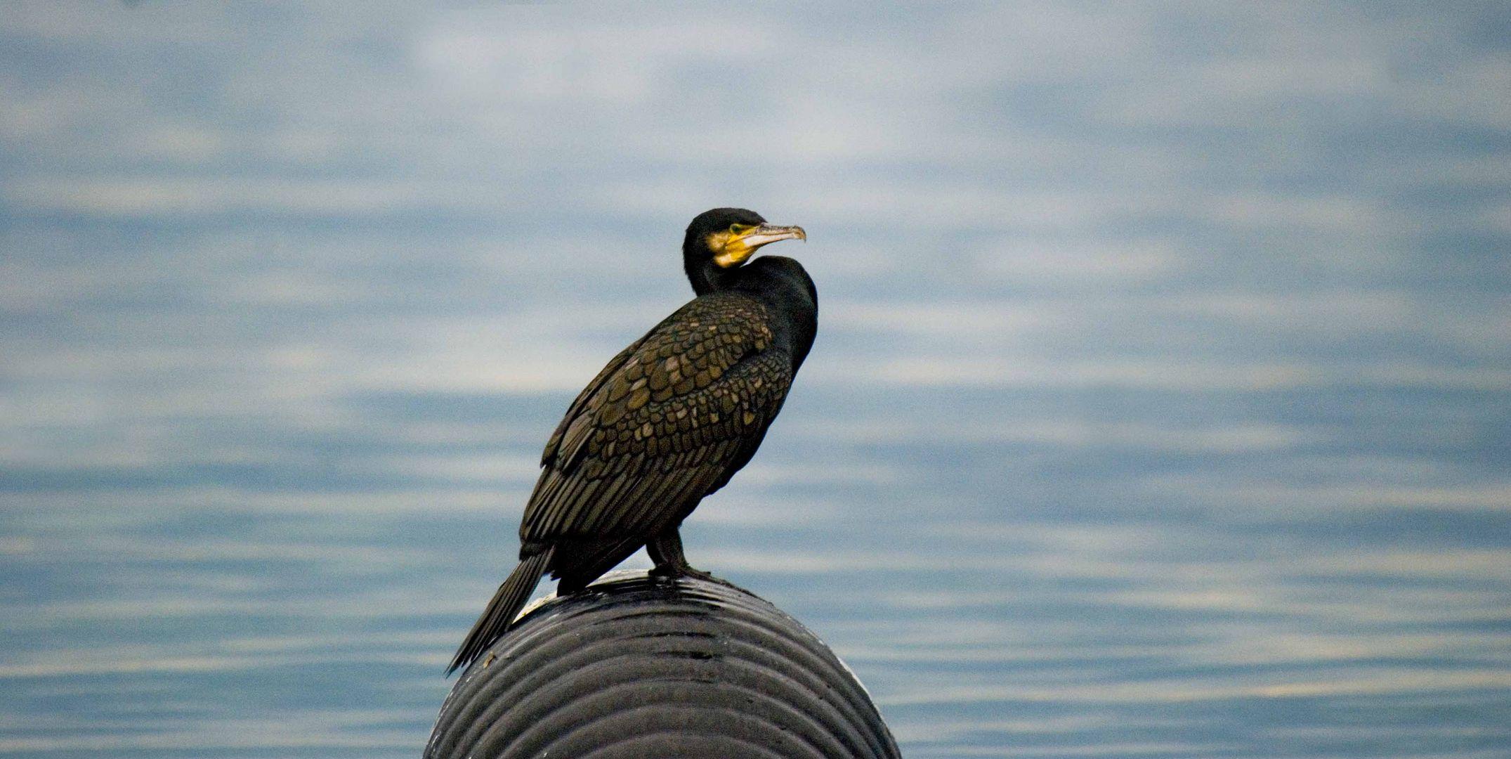 cormorano3