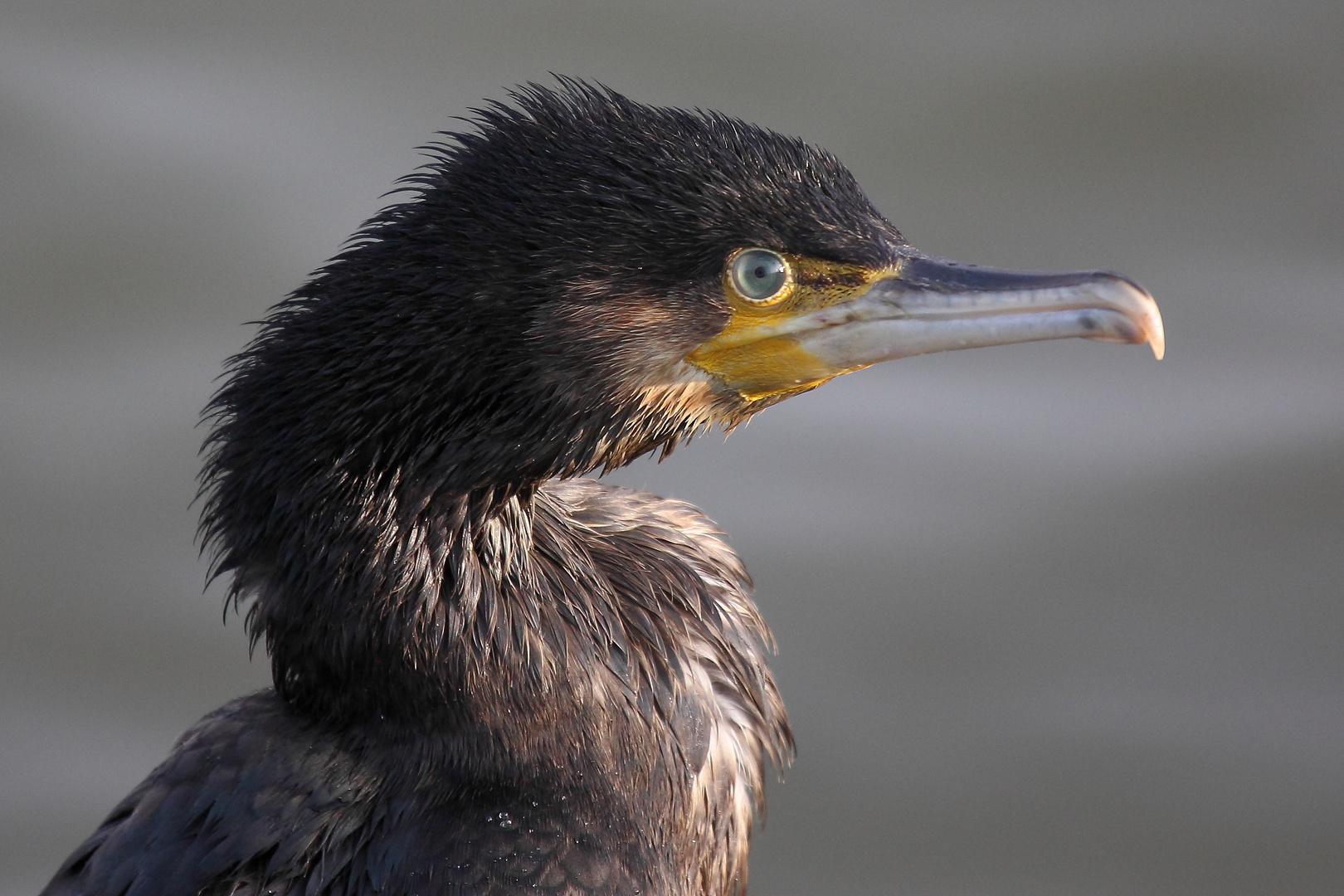 Cormorant headshot