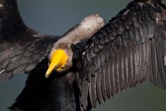 Cormorant Yoga