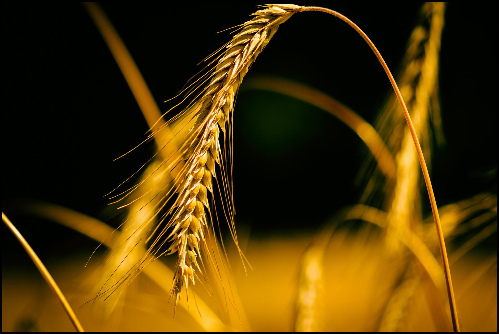 Corn Bow