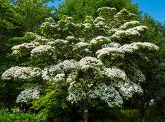 cornaceae