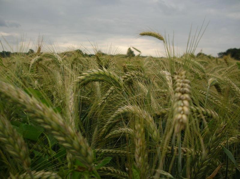 ..cornfield..