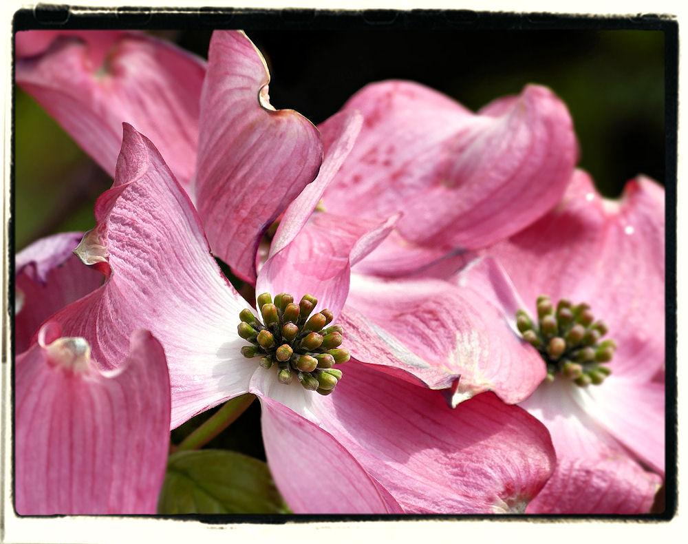 ''Cornus florida''