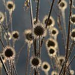 Corona-Blumen