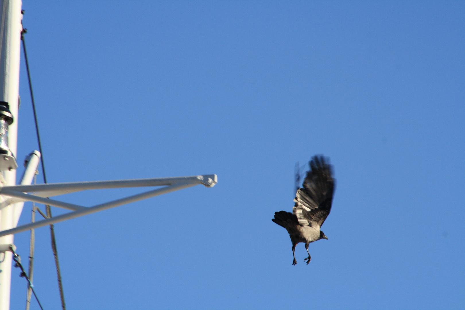corvo in volo