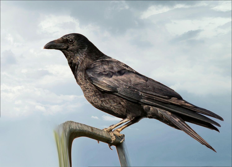 """Corvus corax"""