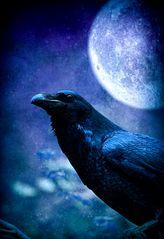 * Corvus corax *
