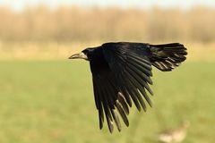 Corvus frugilegus II