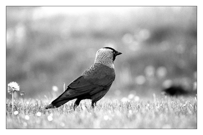 Corvus monedula ...