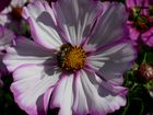 Cosmea hat Besuch
