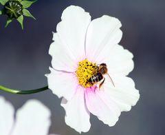Cosmea mit Biene