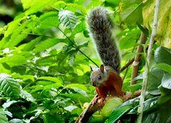 Costa Rica Hörnchen