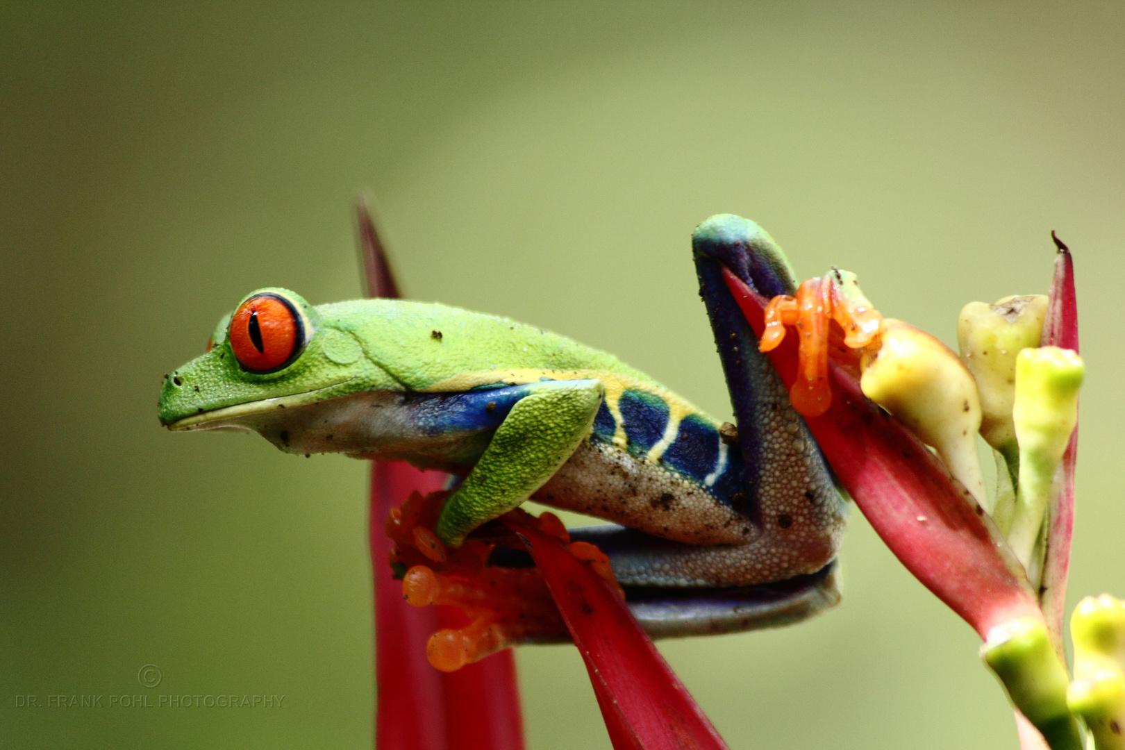 Costa Rica Rotaugenfrosch
