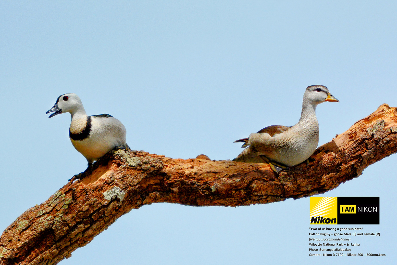 Cotton Pygmy-goose ( Cotton Teal). ( Nettapus coromandelianus)