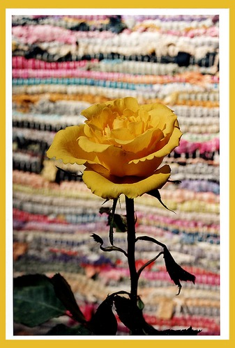 Cottoned Yellow Rose