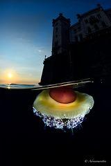 Cotylorhiza al tramonto
