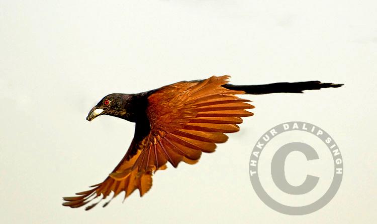 Coucal in Flight