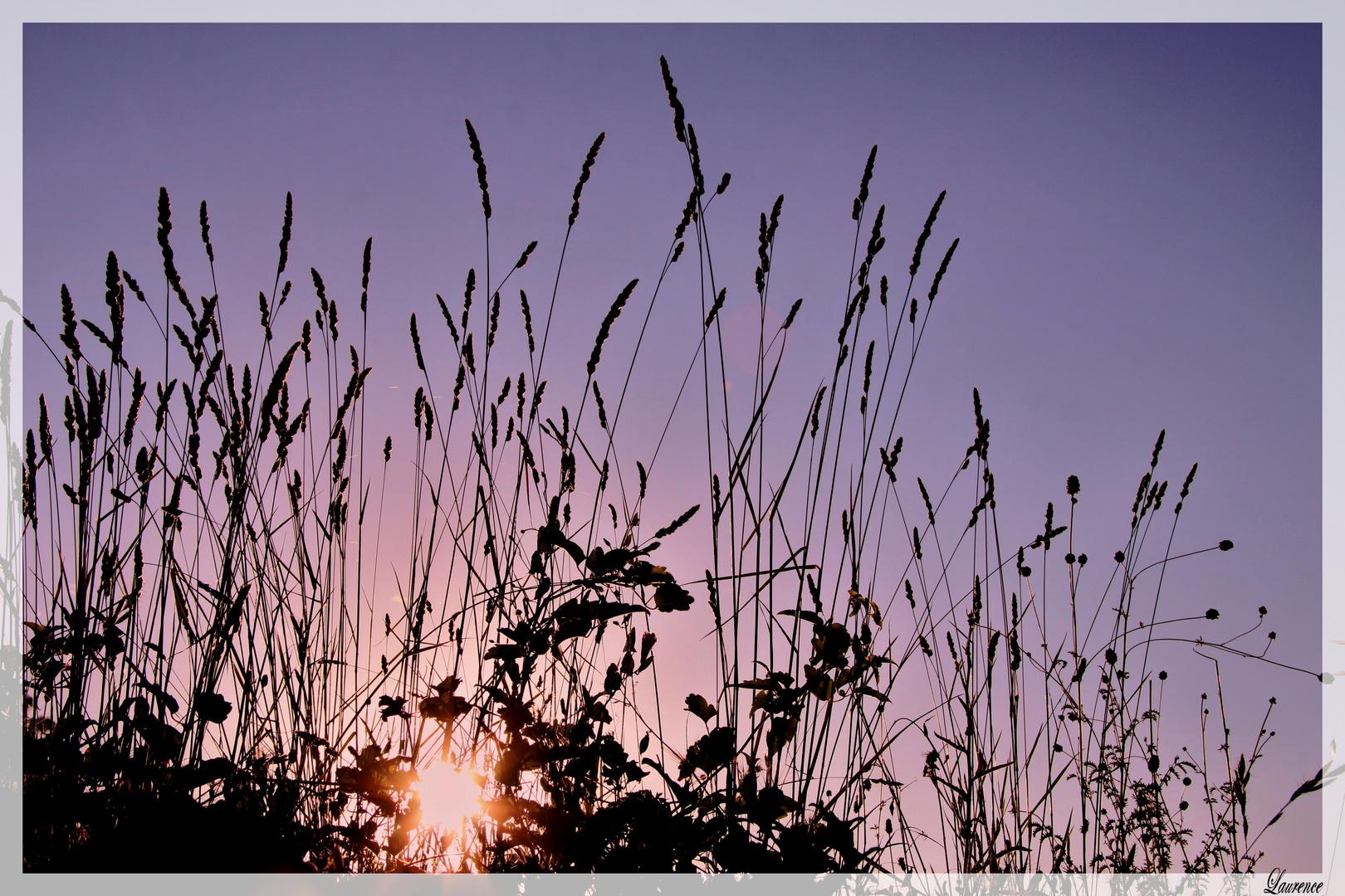 Coucher de soleil dans les herbes folles.