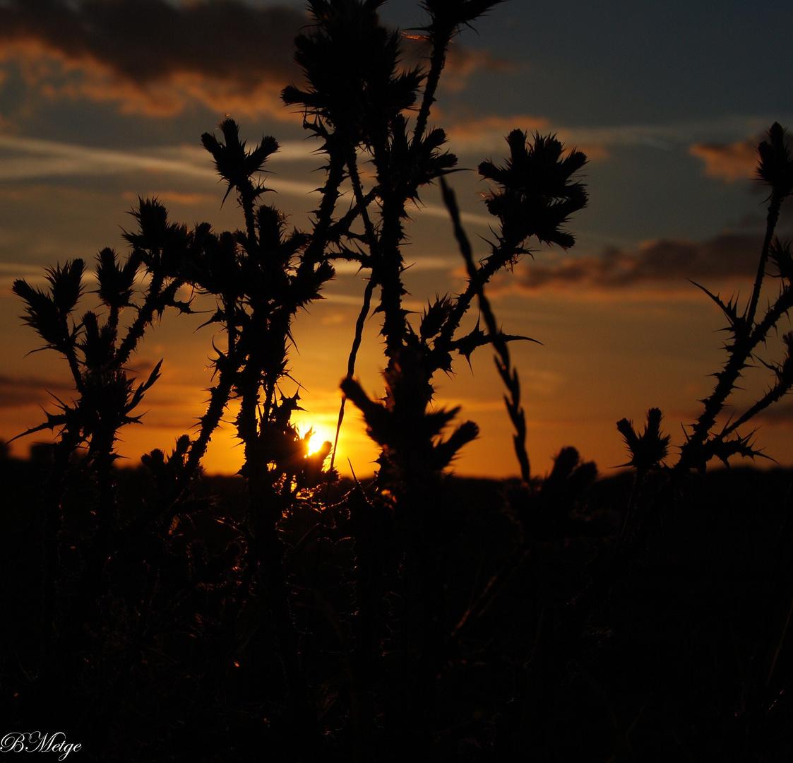 coucher de soleil sur chardons