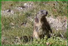 ..Cou'cou d'une marmotte au Pré de Mme Carles (05)