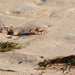 Coucou, je suis le Crabe Créole-