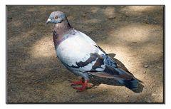 couleur gorge de pigeon...