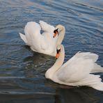 couple de de cygnes au canal d'Alsace