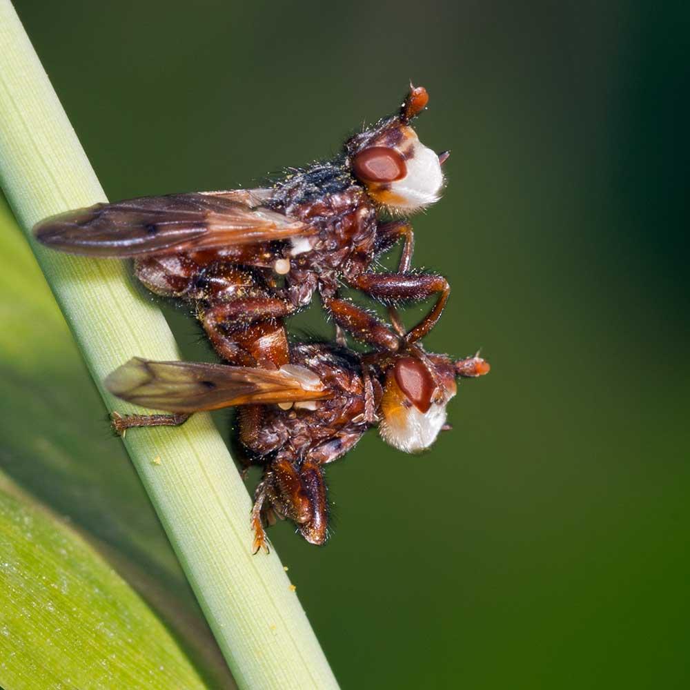 Couple de Myopa (Conopidae)