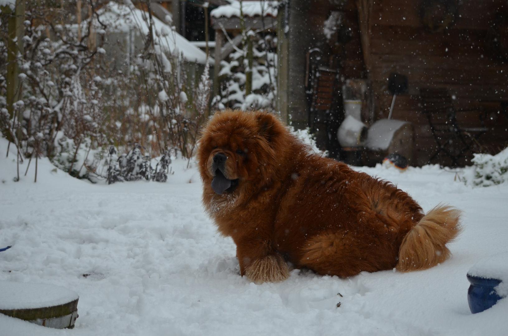 Cow Chow im Schnee