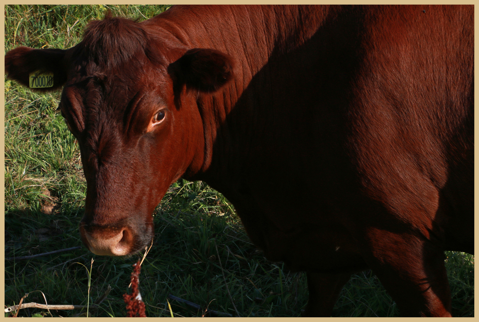 cow near hauxley