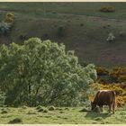 cow near southernknowe 7