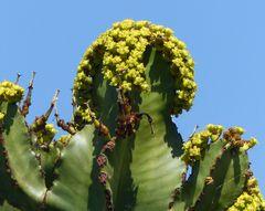 Cowboy Cactus (Euphorbia ingens)