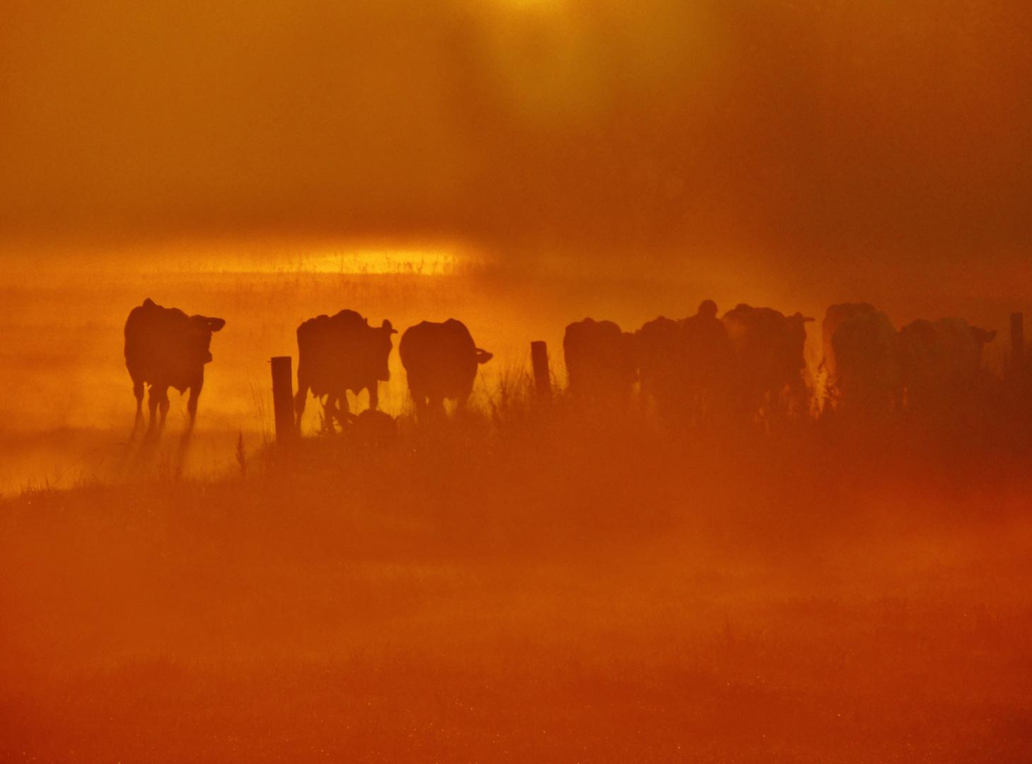 Cows at dawn II