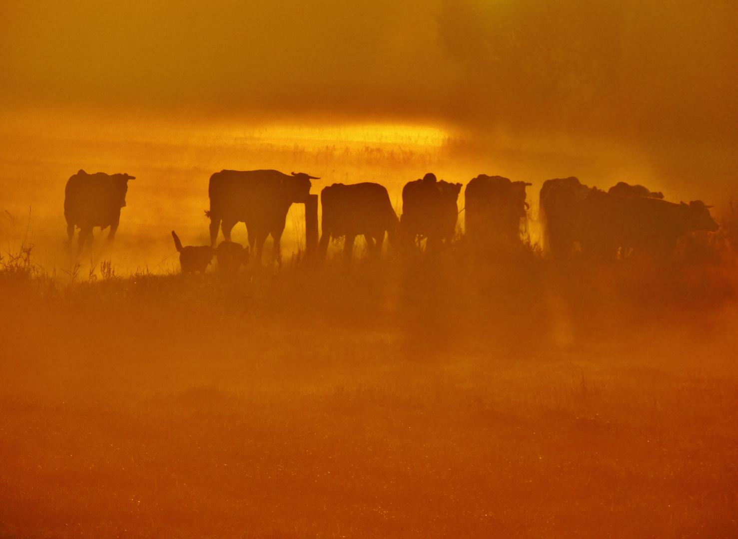 Cows at dawn III