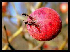 Crataegusfrucht  Weißdorn