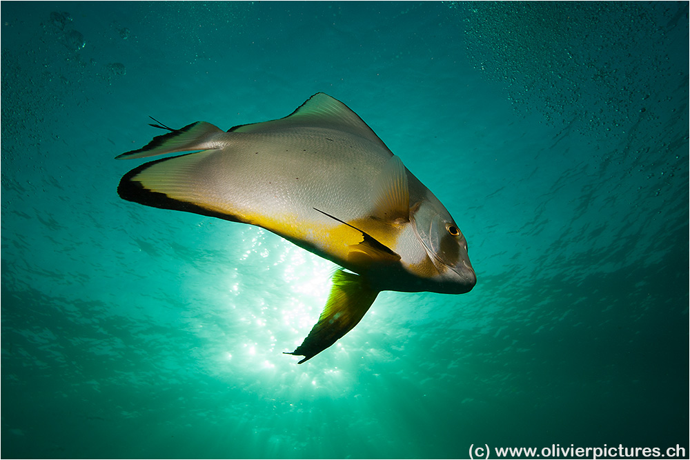 Crazy Batfish