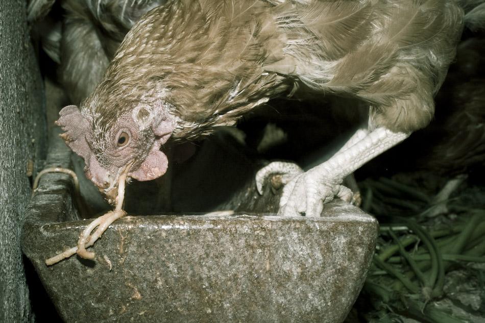 Crazy Chicken -2