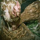 Crazy Chicken - 3
