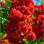 Crepe Myrtle Blossoms on a Summer Afternoon