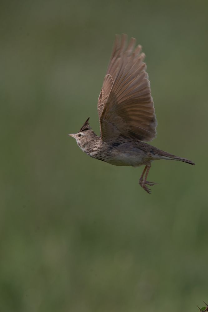 Crested lark flight