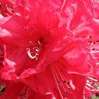 crimson_rhododendron