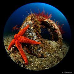crinoidi e stella marina su copertone