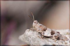 Criquet oedipodia charpentieri