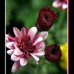 Crisantemo Rosa