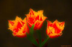 Crispa Tulpen