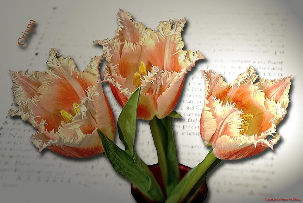 Crispa Tulpen ²