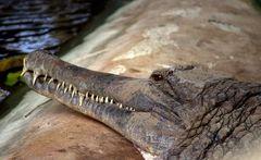 Crocodile 6