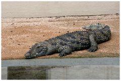 Crocodile du Nil